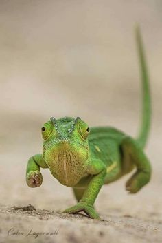 We've gathered our favorite ideas for Best 25 Chameleons Ide. - Animals World Les Reptiles, Cute Reptiles, Reptiles And Amphibians, Baby Chameleon, Chameleon Lizard, Veiled Chameleon, Nature Animals, Animals And Pets, Beautiful Creatures