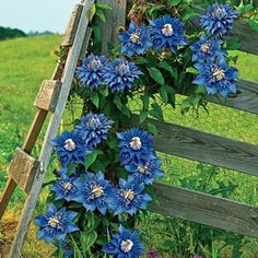 Tidal Wave Clematis Vine Clematis quickly covers fences, trellises and walls in a sea of large, vibrant, colorful flowers. Prolific blooms last several weeks each summer. Product Information: Light: Full sun to partial shade Height: 6-20' Deer Resistant Bloom Time: Summer Size: Potted Zones: 3 to 9
