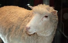 TIL that Dolly the Sheep was named after Dolly Parton. Dolly was cloned from mammary gland cells and Doctor Ian Wilmut could not think of a more impressive pair of glands than Dolly Parton's. Especie Animal, Mundo Animal, Dolly Parton, Sheep Names, Funny Sheep, Mammary Gland, Today In History, Jurassic Park, Tips