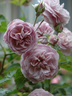 ~Shrub Rose: Rosa 'Florence Delattre' (France, 1991)