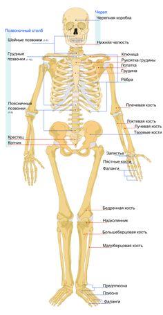 Перечень костей скелета человека — Википедия