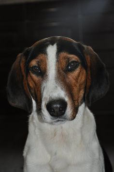 Haldenstoevare Haldenstövare /  Foxhound / Haldenstovare #Puppy ...