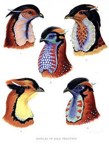 Five species of Tragopan pheasants from William Beebe's book A Monograph of the Pheasants, published 1918–1922