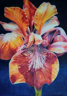 """Wild Iris"" – Amy Ready Rebella 18 x 24 Colored Pencil over watercolor pencils and Inktense Pencil on Paper Pencil Painting, Watercolor Pencils, Watercolor Flowers, Watercolor Art, Watercolors, Color Pencil Sketch, Iris Art, Colored Pencil Tutorial, Polychromos"