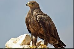The majestic steppe eagle is the national animal of Egypt. This bird belongs to the family of Accipitridae. Egypt's national bird is large with brow Different Types Of Eagles, Assassins Creed Art, Eagle Art, National Animal, Jackdaw, Exotic Birds, Birds Of Prey, Colorful Pictures, Tolkien