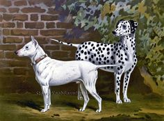 Bull Terrier and Dalmation ~ Cassell's, Dogs ~ Counted Cross Stitch Pattern…