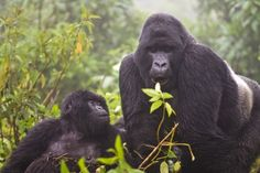 1443633293_silverback and adult gorilla