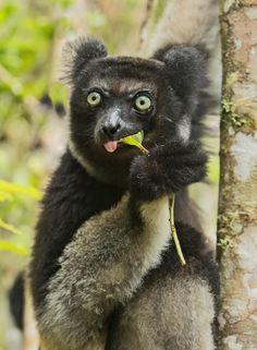 Indri palmarium, Madagasca, por Ken Watkins