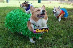"""Chi Chi Chi """"Chia"""" Corgi - Sidney, winner of the costume contest!!!"""