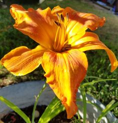 There's a frog in my daylily!