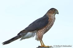 Cooper's Hawk Identification, All About Birds, Cornell Lab of Ornithology Hawk Identification, Cooper's Hawk, Tree Canopy, Canopies, Bird Species, Bird Prints, Hawks, Bird Watching, High Speed