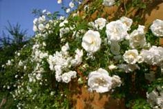 What's the difference between a climbing rose and a rambling rose?