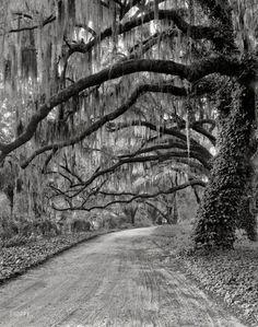 "Circa 1940. ""Wormsloe Plantation driveway. Savannah vicinity, Chatham County, Georgia."""