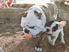 Old English Bulldog and French Bulldog