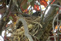 beautiful mommy robin and her nest before the big storm