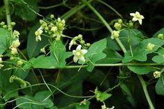 Resultado de imagen de bryonia dioica