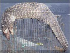 Pangolins are scaly anteaters that forage the forest for insects. They are in peril due to massive hunting for meat, scales and skin to use in traditional medicines. Don't buy any products made with pangolin parts. Let's keep these cool creatures in the rainforest, not in a bottle or on a plate.
