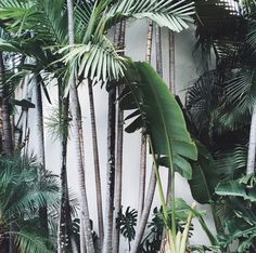 Tropical Garden | Palms and Banana plants with white wall