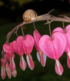 Snail on Bleeding Heart