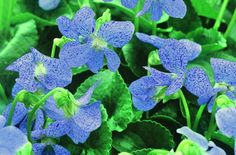 This extremely durable perennial violet has a remarkable light blue flower covered with deep blue tiny specks.  Violas are early spring bloomers.
