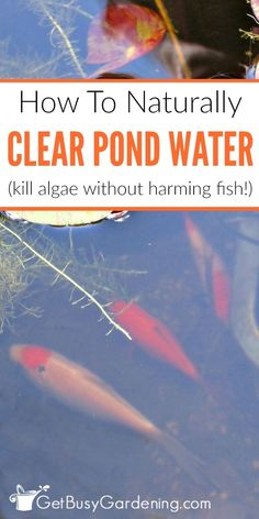 Lawn and Garden Tools Basics It's Easy To Keep Pond Water Clear Naturally, Without Using Chemicals. Pursue These Simple Steps To Get Rid Of Gross Pond Algae Without Harming Your Fish