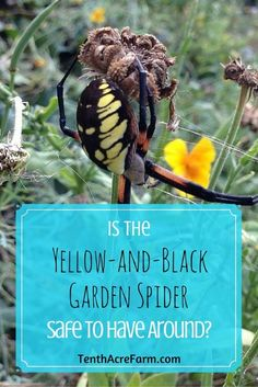 The black-and-yellow writing spider is a large and bold specimen, and quite shocking to encounter in the garden. What is their role in the garden? Are they poisonous?