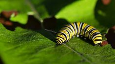 Butterflies Weaponize Milkweed Toxins | The Scientist Magazine®