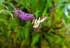 Does Butterfly Bush Really Spell Doom for Butterflies? Flowers For Butterflies, Bradford Pear, Butterfly Bush, Grow Organic, Flowering Shrubs, Purple Haze, Animal Party, Outdoor Projects, Amazing Flowers