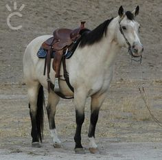 """Mays Top Robin"" owned by Shining C Grulla horses"