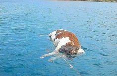 Davanti alle isole Baleari i diportisti hanno un problema in più, le carcasse di mucche alla deriva