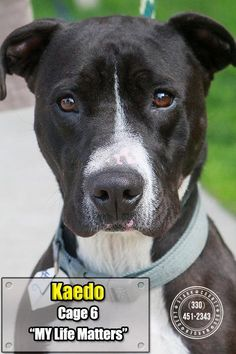 SAFE - TRANSFERRED TO HUMANE SOCIETY - KAEDO - URGENT - Stark County Dog Warden in Canyon, Ohio - ADOPT OR FOSTER - Young Male Pit Bull Terrier Mix - Available 09/01/2016