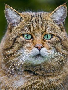 Portrait of an utterly nice wild cat
