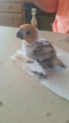 Baby Jenday conure