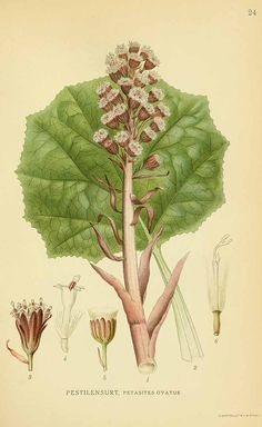 Petasites hybridus (L.) G.Gaertn. [as Petasites ovatus Hill]