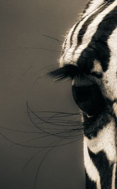 Africa | Close up of a zebra, in the Serengeti National Park, Tanzania. | ©Mario Moreno