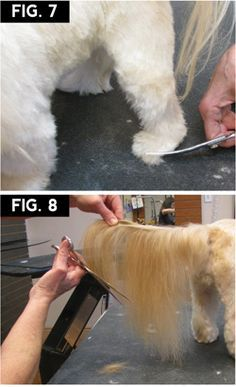 Shih Tzu Makeover Groomer to Groomer Magazine. I do not care for the cut, but good info on blade sizes. Dog Grooming Styles, Dog Grooming Tips, Grooming Salon, Poodle Grooming, Chien Shih Tzu, Shih Tzu Puppy, Shih Tzus, Yorkshire Terrier, Pet Shop
