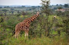 Rothschild Giraffes in the Wild in Uganda.