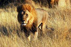 lion and cheetah game park zimbabwe Zimbabwe, Cheetah, Lion, Destinations, Wildlife, Africa, Tours, Game, Animals
