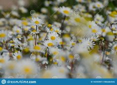 Photo about Close up photograph of a chamomile field on a sunny day. Image of aromatic, blooming, design - 142343407