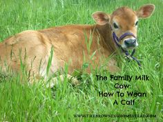 How To SAfely and Easily Wean A Calf Off Your Family Milk Cow