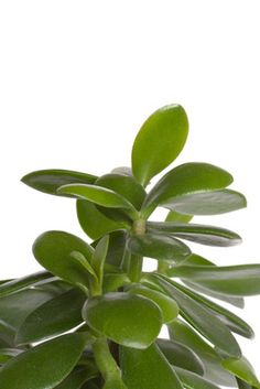 Feng shui history begins some six thousand years ago, emerging from the Chinese practice of philosophy, astronomy, astrology, and physics. The primary purpose of the feng shui art is the… Jade Plants, Green Plants, Feng Shui Money Tree, Jade Plant Care, Feng Shui Plants, Feng Shui Jade Plant, Jade Tree, Vida Natural, Crassula Ovata