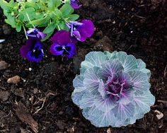 "Fall Flowers ~ Pansies & Ornamental Cabbage ""I love the ornamental cabbage"" Backyard Projects, Garden Projects, Backyard Ideas, Garden Ideas, Ornamental Cabbage, Yard Care, Outdoor Gardens, Outdoor Life, Outdoor Living"