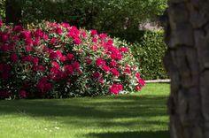 Rododendron, Rhododendron 'Nova Zembla' kopen vanaf €12,20 | Ten ...