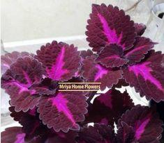 Coleus – Solenostemon Home Flowers, Plants