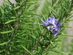 Tato rostlina naložená v brandy léčí zánět i revmatismus