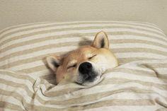 いいね!8,881件、コメント26件 ― 柴犬マロたん。さん(@minapple)のInstagramアカウント: 「I feel happy when I'm sleeping. 幸せか幸せじゃないかの二択なら、おそらく幸せ寄り #柴犬 #shiba #shibainu #weeklyfluff…」