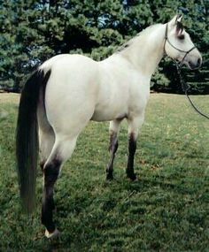 White buckskin - or what is commonly known as buttermilk buckskin. :)