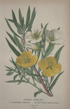 Evening Primrose The evening primrose oil has strong anti-aging effects and is rich in gamma-linoleic acid which helps in deep reformation and regeneration of the skin, supports the immune system and helps in the treatment of premenstrual syndrome. Botanical Drawings, Botanical Prints, Illustration Blume, Evening Primrose, Primrose Oil, Primroses, Floral Illustrations, Stock Illustrations, Botanical Flowers