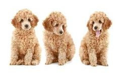 I may have already pinned this, but they're so cute and I want one! Apricot toy poodles.