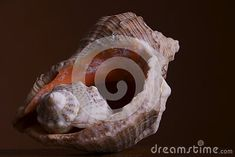 sea-shells-brown-background Sea Shells, Lion Sculpture, Statue, Brown, Art, Art Background, Seashells, Kunst, Brown Colors